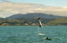 Dusky dolphins are often playful
