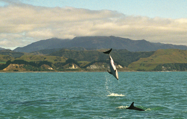 Dusky dolphins are often playful
