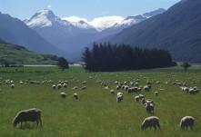 Quintessential New Zealand, sheep & Mt Cook