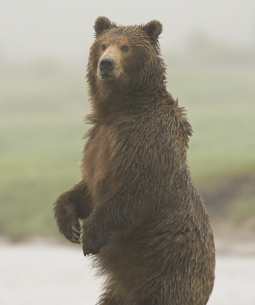 Large male Grizzly Bear stands to gaze at me,  Katmai Coast
