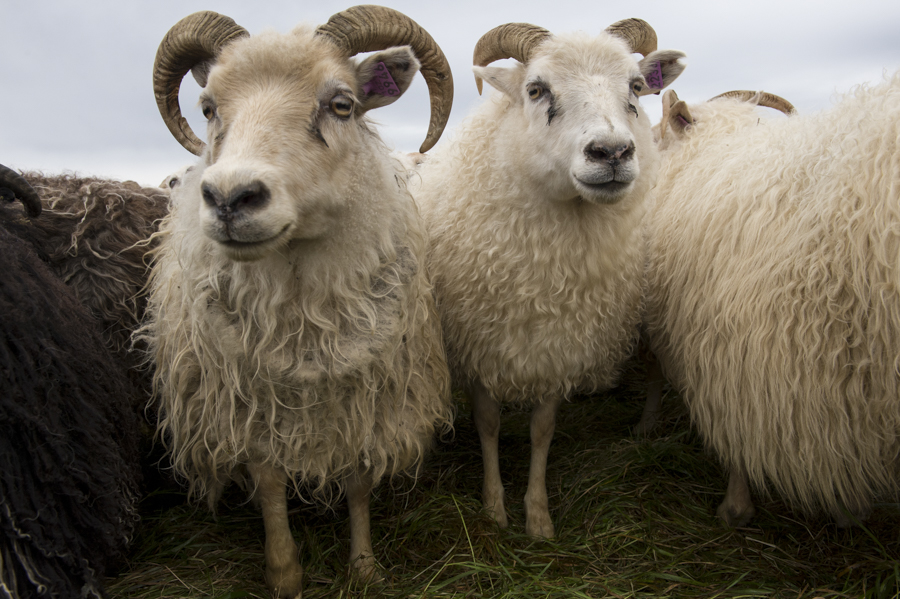 Iceland, Réttir, sheep, sheepherding
