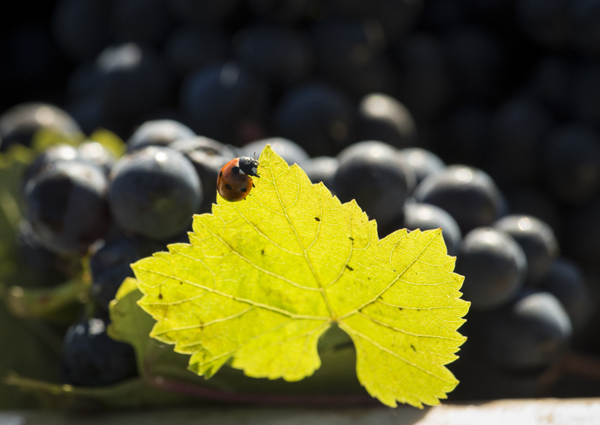 A visual way to showcase sustainability, ladybug on leaf of freshly picked cluster of pinot noir