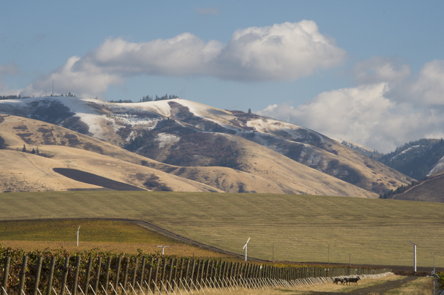 A herd of deer wander through Les Collines Vineyard with snow capped Blue Mountains in background, Walla Walla, Washington