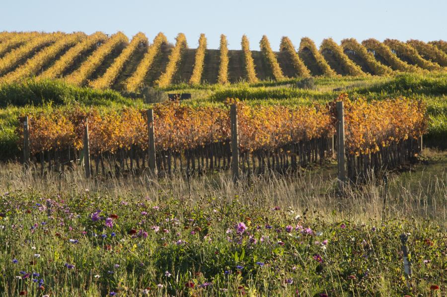 Wildflowers & golden vines at Seven Hills Vineyard, Walla Walla