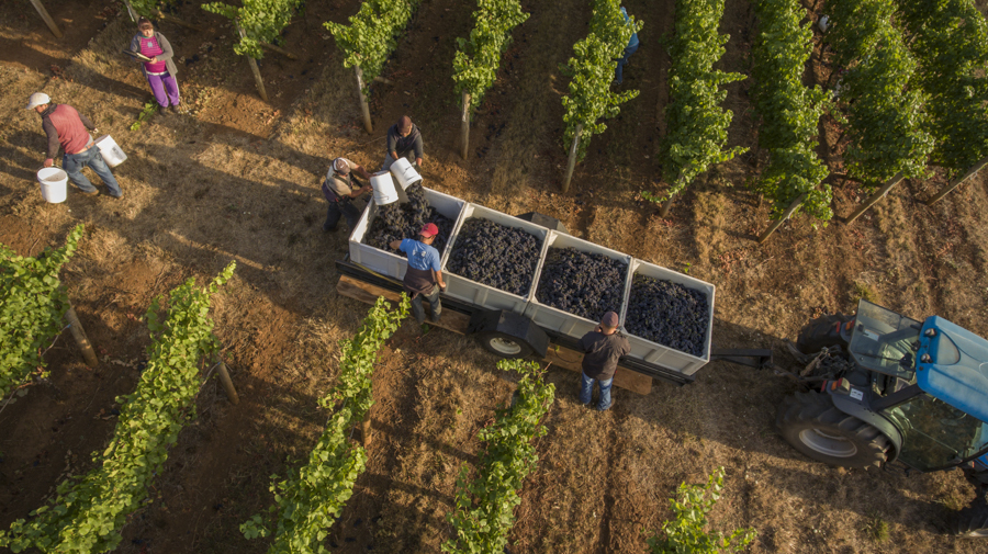 Drone shot over pinot noir grapes being harvested at Cristom vineyards