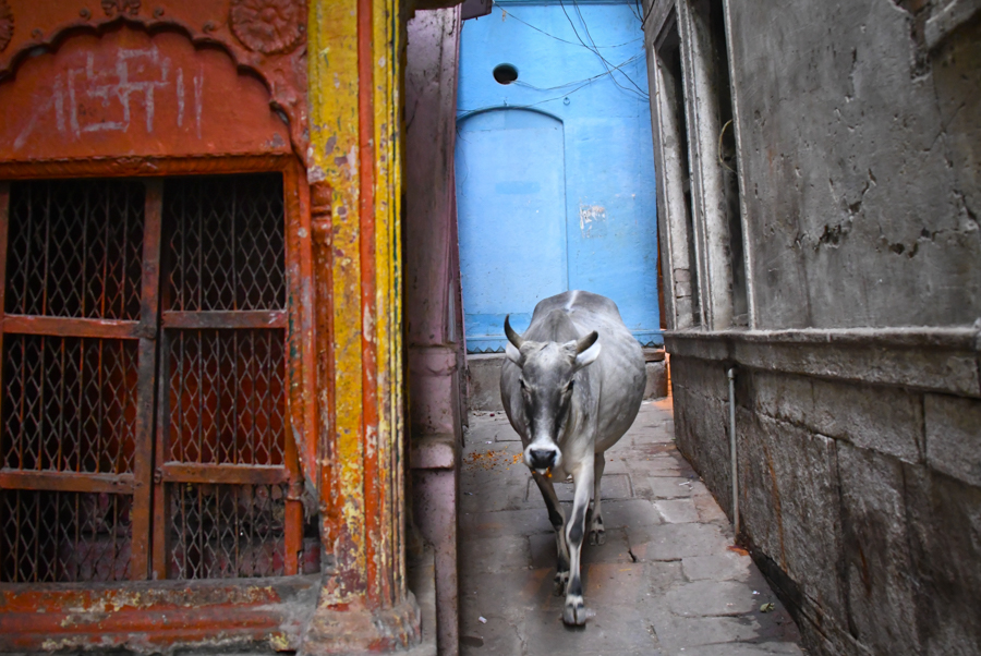 Cow roaming ancient back streets of Varanasi, India